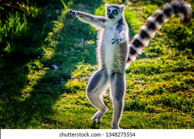 Ring-tailed lemur is dancing on green grass. He plays and performs. Like all lemurs it is endemic to the island of Madagascar. He is cute.