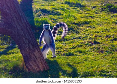 Ring-tailed lemur is dancing on green grass. He plays and performs. Like all lemurs it is endemic to the island of Madagascar. He is cute (Lemur catta)