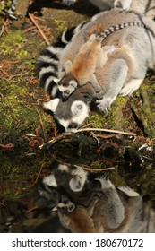 Ring-tailed lemur drinking with baby on its back