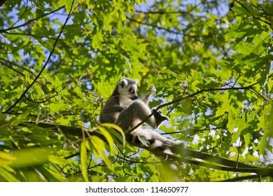 ring-tailed lemur in dutch monkeypark