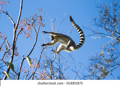 Ring-tailed Lemur jumping from branch to branch