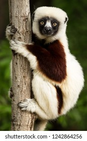 The ring-tailed lemur is a large strep primate and the most recognized lemur due to its long, black and white ringed tail