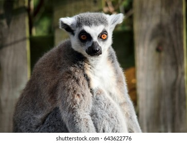 Ring-tailed lemur looking into the camera with a wooden fence in the background