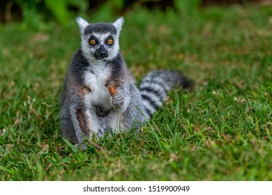 Ring-tailed Lemur looking straight ahead, holding a dry leaf. It has large, bright orange eyes, white face dark triangular eye patches, wet nose and protruding muzzle. Lemur catta. Bokeh background.