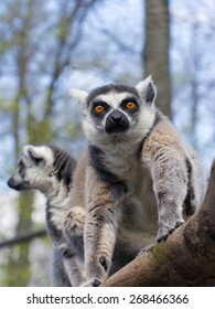 Ring-tailed lemur or maky (Lemur catta) on a tree