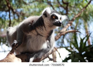 Ring-tailed lemur on the tree at Monkey park, Tenerife, Canary island