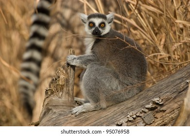 Ring-tailed Lemur sitting (Lemur catta), captive. National Zoo, Washington, D.C., USA