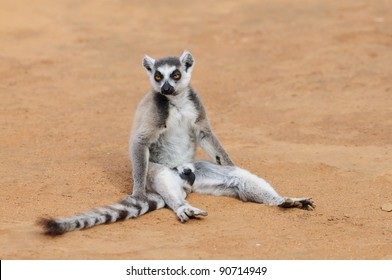 Ring-Tailed Lemur Sitting on the Ground - Madagascar