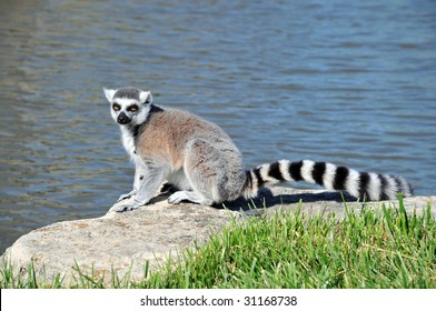 Ring-tailed Lemur sitting on a rock by the water