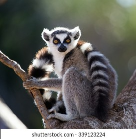 Ring-tailed lemur sitting on a tree. Madagascar. An excellent illustration.