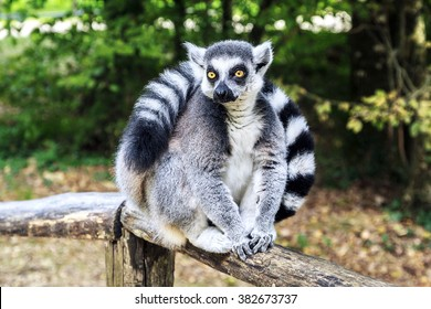 Ring-tailed lemur sitting in the park.