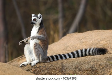 Ring-tailed Lemur sunbathing in the Anja Reserve, Madagascar