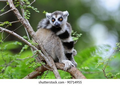 Ring-Tailed Lemur in a Tree - Madagascar
