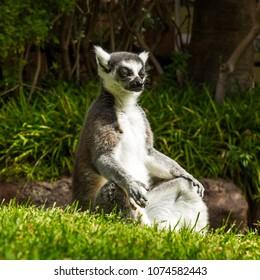 Ring-tailed lemur under the sun.