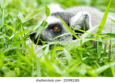 Ring-tailed lemur in the wild green grass.