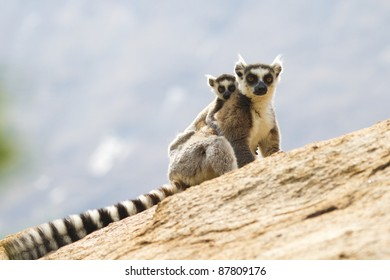 Ring-tailed lemurs in Anja Reserve, Madagascar