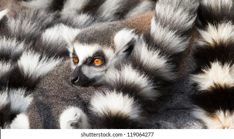 Ring-tailed lemurs (Lemur catta) huddle together on a cold autumn morning to stay warm