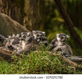 Ring-tailed lemurs (Lemur catta) photographed against a blurred background at a zoo. Faces of three lemurs are visible. Lemurs are primates native to the island of Madagascar east of Africa.