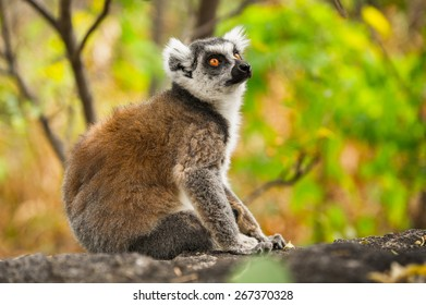 Ring-tailed lemurs in Madagascar