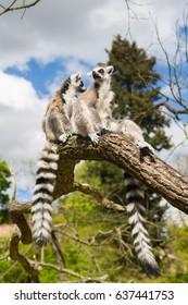 Ring-Tailed Lemurs in the Prague Zoo, Czech Republic