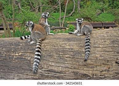 Ring-tailed lemurs sitting on a tree in a Zoo