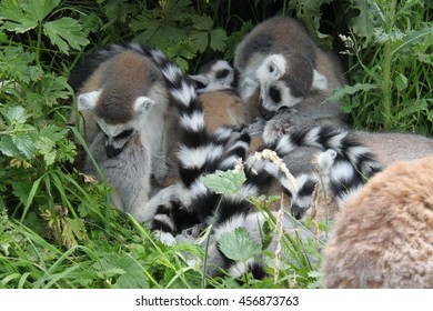 Ring-tailed lemurs sleeping