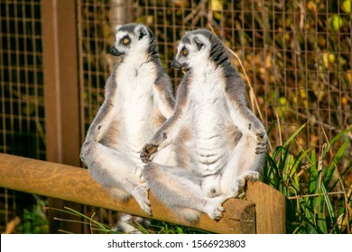 Ring-tailed lemurs sunbathing in a zoo