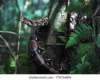 Rio de Janeiro, February 29, 2008. Giboia snake hanging on the tree in the forest of Tijuca National Park, in the city of Rio de Janeiro, Brazil