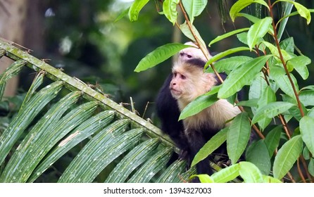 Rio Frio / Costa Rica - May 4, 2019: A mother and baby capuchin monkey peering at an approaching boat on the Rio Frio in Costa Rica.