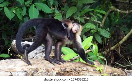 Rio Frio / Costa Rica - May 4, 2019: A baby capuchin monkey riding on its mother's back on the bank of the Rio Frio in Costa Rica.