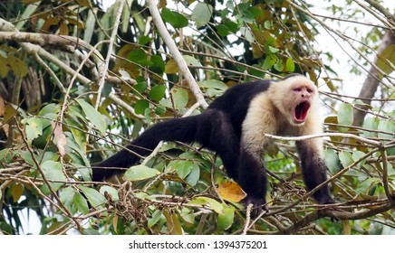 Rio Frio / Costa Rica - May 9, 2019: The alpha male of a troop of capuchin monkeys trying to scare away a boat of tourists on the Rio Frio in Costa Rica.