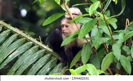 Rio Frio / Costa Rica - May 4, 2019: A mother capuchin monkey and her baby keeping a watchful eye along the Rio Frio in Costa Rica.
