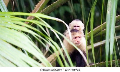 Rio Frio / Costa Rica - May 4, 2019: A mother capuchin monkey and her baby keeping a watchful eye from a bank of the Rio Frio in Costa Rica.