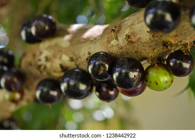 Rio Grande do Sul/Brazil: Close-up branch of ripe jaboticabas, a sweet and delicious fruit that grows in South America, specially in Brazil.
