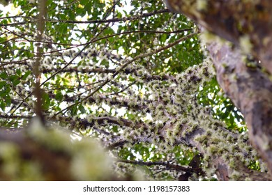 Teutônia, Rio Grande do Sul/Brazil - September 15, 2018: Wide view of Jaboticaba's tree blooming covering most of the branches.