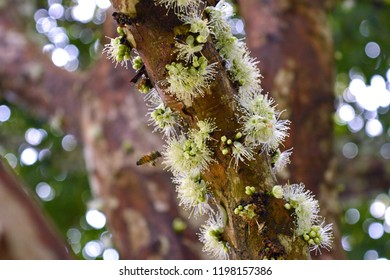 Teutônia, Rio Grande do Sul/Brazil - September 15, 2018: Jaboticaba's branch full of white flowers which sooner they turn to fruits.