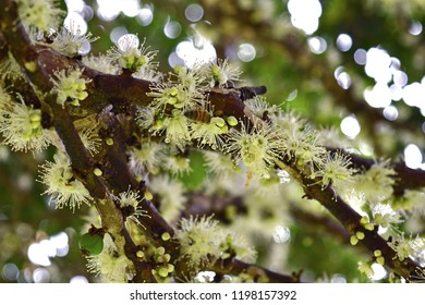 Teutônia, Rio Grande do Sul/Brazil - September 15, 2018: Close-up blooming of Jaboticaba's tree. The white flowers turn onto delicious fruits.