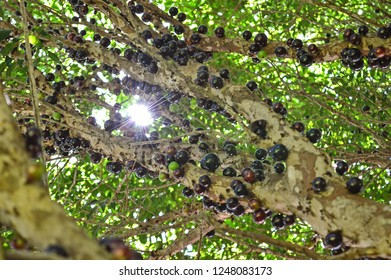 Rio Grande do Sul/Brazil: Sunlight spot shining over a jaboticabas' tree full of ripe fruits. The branches are covered twice a year in most cases.