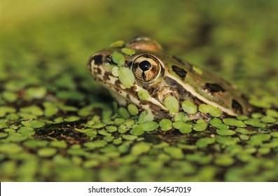 Rio Grande Leopard Frog, Rana berlandieri, adult in duckweed camouflaged, Lake Corpus Christi, Texas, USA, May