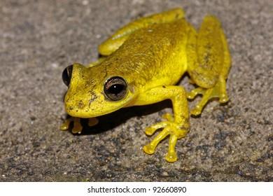 The Rio Negro Snouted Treefrog (Scinax chiquitanus) in the Peruvian Amazon