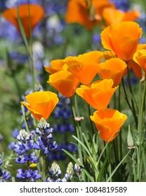 A riot of orange, purple,and green highlight this photo of spring wildflowers. There are California poppies, lupines, and tall green grasses.