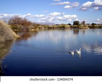 Riparian Lake with White Geese
