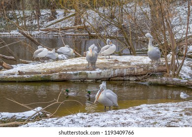 riparian scenery including some pelicans at winter time