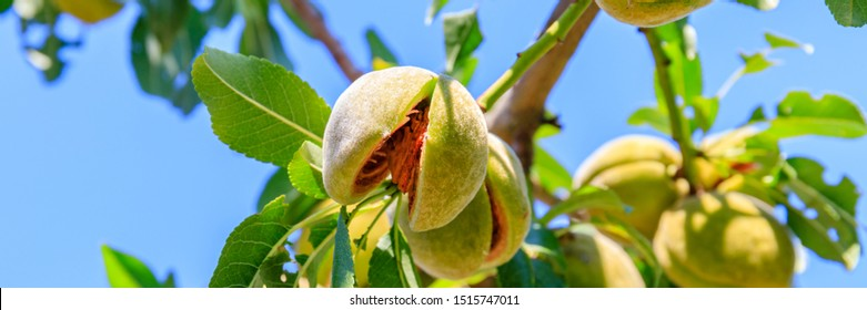 Ripe almonds grow on tree, closeup. Mature open almond nut grows on branch of almond tree on blue sky background. , banner