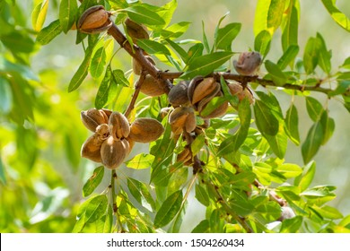 Ripe almonds nuts on almond tree ready to harvest close up