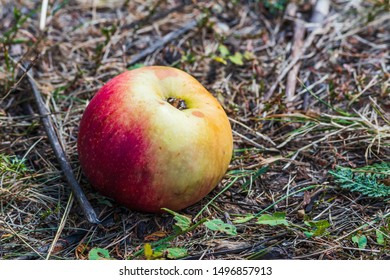 Ripe apple fruit on the ground