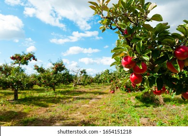 ripe apple fruits in orchard