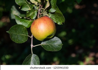 A ripe apple hanging on tree branch with more apples out of focus in the background.