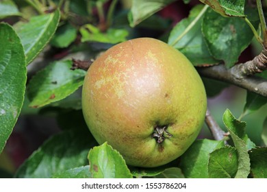 Ripe apple, Malus domestica, ready to pick from a tree in late summer with a background of leaves and branches.