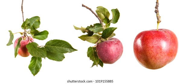 ripe apple on a branch with leaves. isolated on white background, set, collection